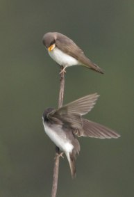 Swallows_LakeManitou-CO_LAH_1727