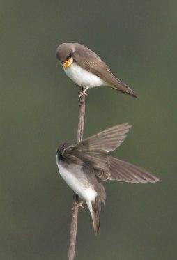 Swallows_LakeManitou-CO_LAH_1727