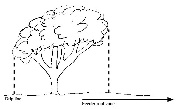 Dripline on mature trees sorry, that