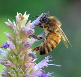 bee-on-agastache_hudsongardens-littletonco_lah_9377