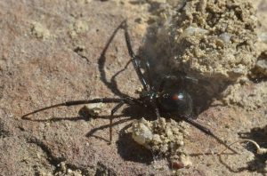 latrodectus-hesperus_western-widow-spider_homesteadranchpark-co_lah_6875