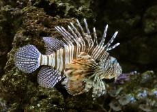 lionfish_denveraquarium_20091229_lah_5874