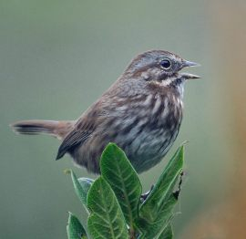 Song Sparrow_OnaBeachOR_20090923_LAH_2128a