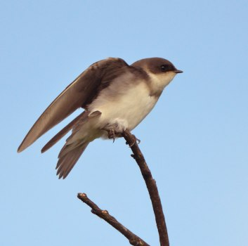 Tree Swallow juv_LakeManitou-CO_LAH_1876