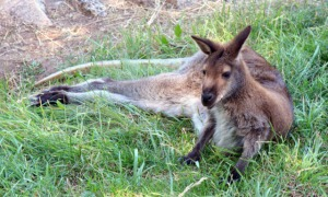 wallaby_cheyennemtnzoo-co_tim_1660