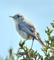 Blue-Gray Gnatcatcher_AikenCyn-CO_LAH_0220