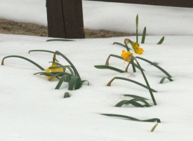 Daffodils after storm_LAH_4363-001