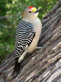 Golden-fronted Woodpecker_Bentsen-RioGrandeSP-TX_LAH_4932