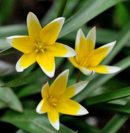Tulipa tarda_DBG_20100417_LAH_2825