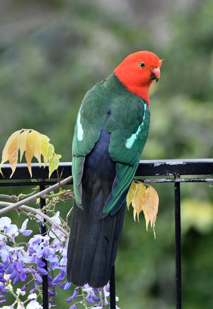 australian-king-parrot_faulconbridge-nsw-australia_lah_2369