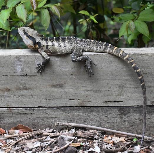 australian-water-dragon_australia_lah_1416