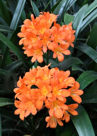 clivia_royalbotanicgardens-sydney-nsw-australia_lah_7230