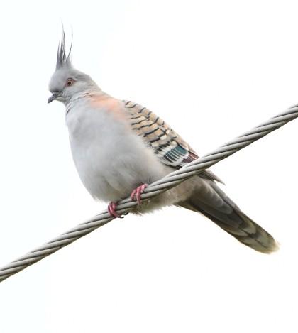 crested-pigeon_faulconbridge-nsw-australia_lah_2467