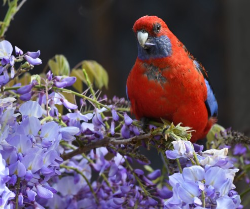 crimson-rosella_faulconbridge-nsw-australia_lah_1585