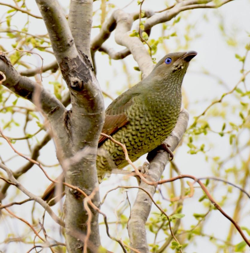 satin-bowerbird_faulconbridge-nsw-australia_lah_1622
