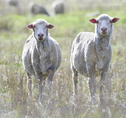sheep_caperteevalley-nsw-australia_lah_5023