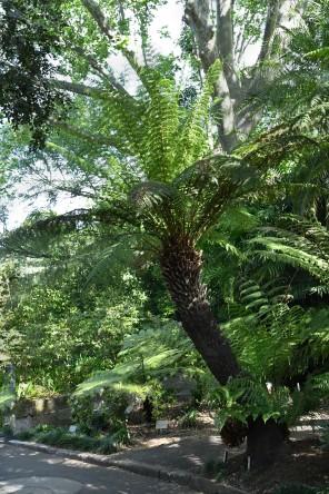 tree-fern_royalbotanicgardens-sydney-nsw-australia_lah_7220