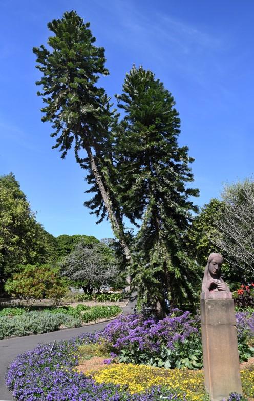 wollemia-nobilis_wollemi-pine_royalbotanicgardens-sydney-nsw-australia_lah_7127