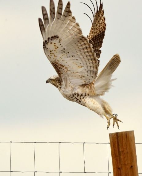 01-red-tailed-hawk_rmanwr-co_lah_8390-l