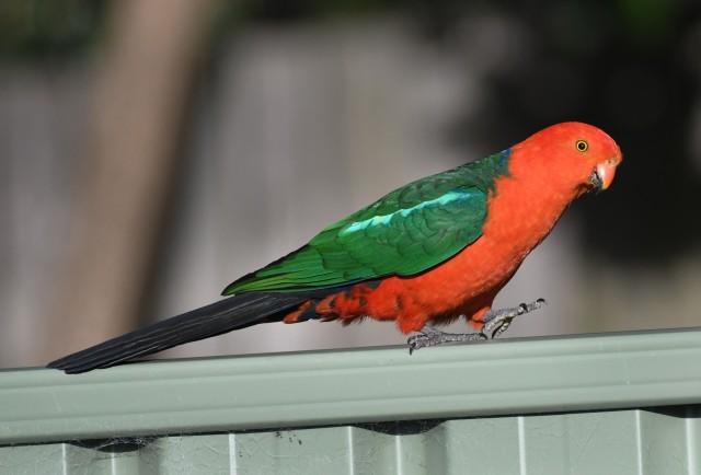 australian-king-parrot_faulconbridge-nsw-australia_lah_1425