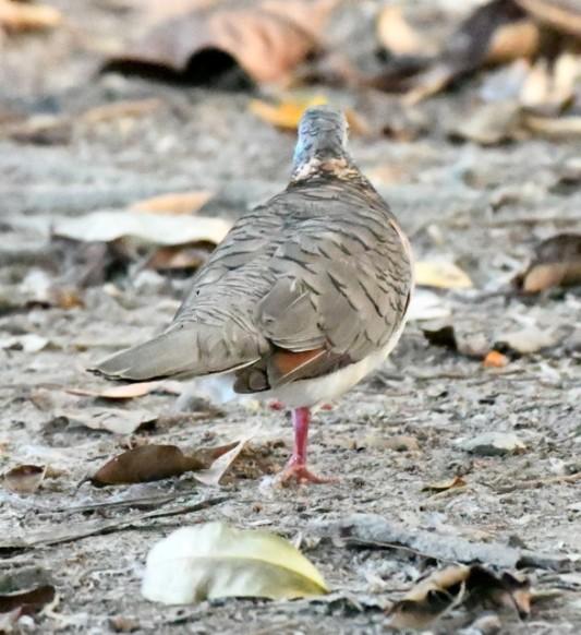 bar-shouldered-dove_daintreewildzoo-qld-australia_lah_5055