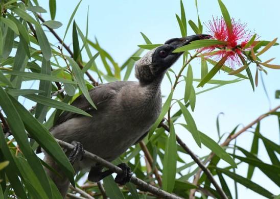 helmeted-friarbird_daintree-qld-australia_lah_5531