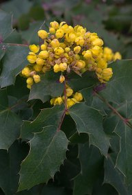 mahonia-aquifolium-compacta_oregon-grape_dbg-co_lah_4128