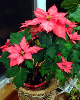 poinsettias_20091218_plh_5604