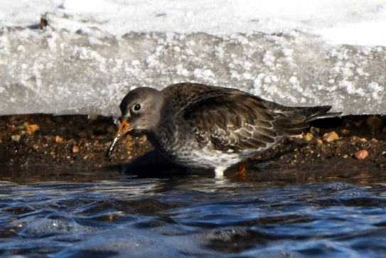 purple-sandpiper_dillonreservoir-co_lah_2314