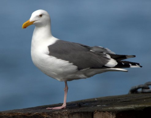 western-gull_monterey-ca_lah_6842