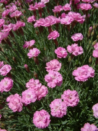 dianthus-tiny-rubies-1