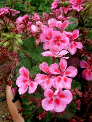 geranium-bold-charm-rose-csu-lah-162