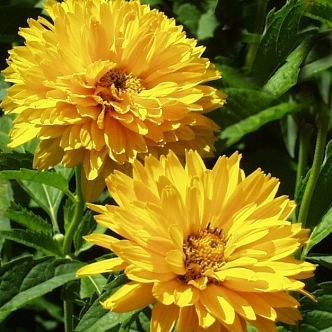 heliopsis-helianthoides-false-sunflower-bloom-2-csur