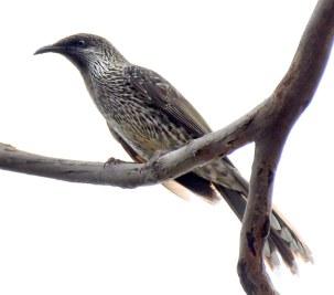 little-wattlebird_chiltern-trail-nsw-australia_lah_7395