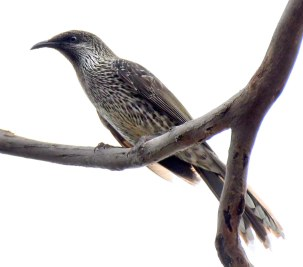 little-wattlebird_chiltern-trail-nsw-australia_lah_7395