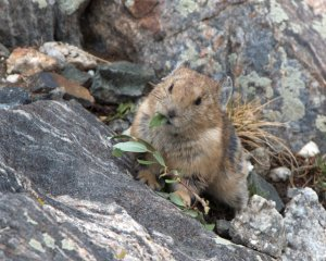 pika_mt-quandry-co_lah_6325-001