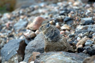 pika_rmnp-co_lah_1784