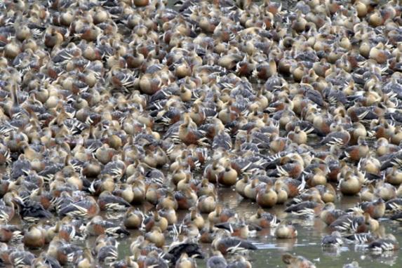plumed-whistling-duck_hastiesswampnp-qld-australia_lah_3143