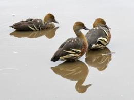 plumed-whistling-duck_hastiesswampnp-qld-australia_lah_3316