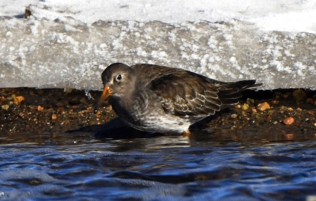 purple-sandpiper_dillonreservoir-co_lah_2317