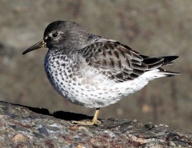 rock_sandpiper_-_flickr_-_gregthebusker-001