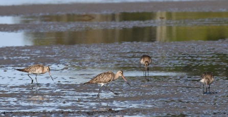 whimbrels_tahlee-nsw-australia_lah_8531