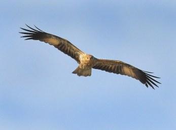 whistling-kite_nsw-australia_lah_8593