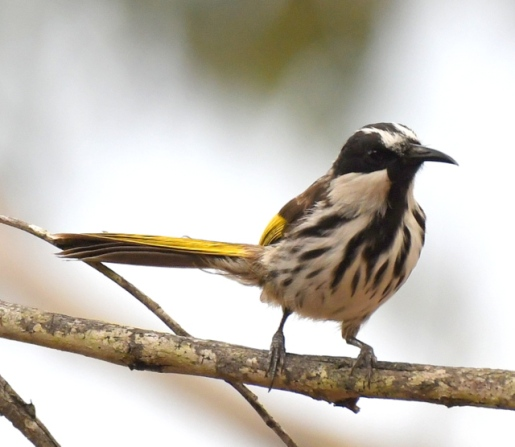 white-cheeked-honeyeater_chiltern-trail-nsw-australia_lah_7329