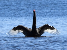black-swan_myalllakesnp-nsw-australia_lah_9227