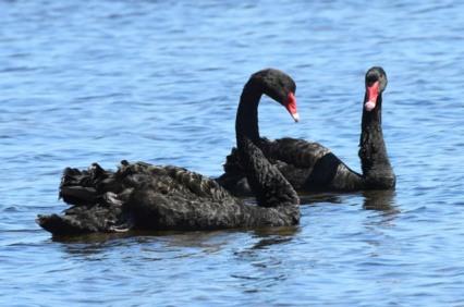 black-swans_myalllakesnp-nsw-australia_lah_9304