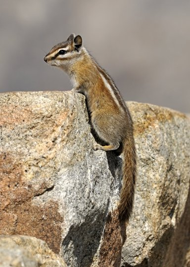 colorado-chipmunk_rmnp_lah_8139_filtered
