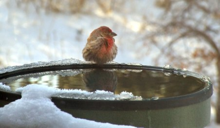 house-finch-in-snow-blackforest-2008mar05-lah-003r