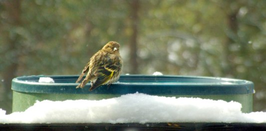 house-finch-on-heated-birdbathblackforest-2008mar05-lah-013