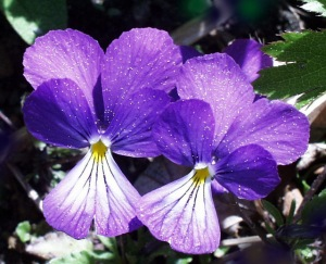 viola-corsica-bloom